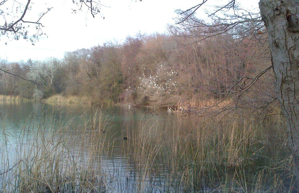 Baixada del nombre d'ànecs i més varietat de gavians i gavines en el XXIIè cens d'ocells aquàtics de l'Estany de Banyoles