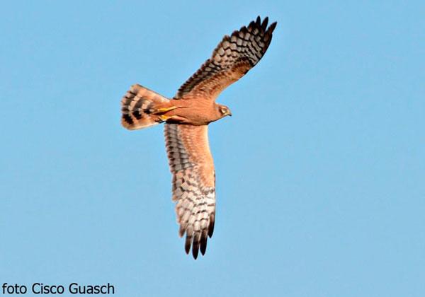 Activitars d'ocells del grup Còbit
