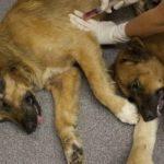 Ipcena reclama l'adaptació de l'ordenança municipal de tinença d'animals de les Borges Blanques a la normativa vigent