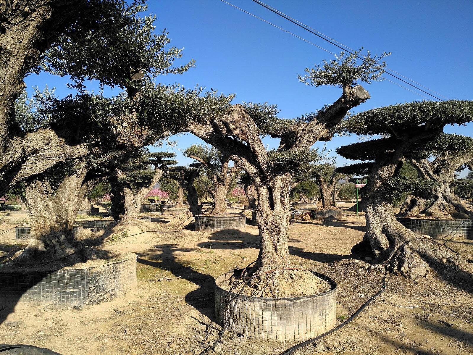 Davant l'arribada de Xylella fastidiosa cal aturar el moviment d'oliveres adultes