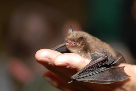 L'ADENC per la recuperació dels ratpenats al Parc Grípia-Ribatallada