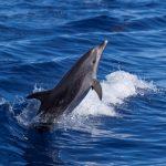 Sortida albirament de Cetacis i observació aus marines 21 octubre