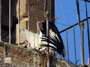 Rescaten dues cigonyes atrapades a l'església de Sant Martí de Lleida