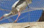 Cinc cigonyes més tornen a quedar atrapades a la Catedral de Lleida