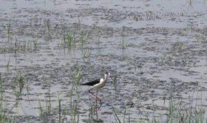 Sortida d'ornitologia als Aiguamolls de l'Empordà