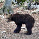 Els ecologistes es mostren contraris a l'expulsió de l'os Goiat