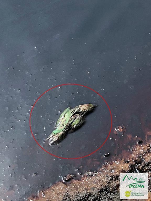 Ipcena localitza altres 25 aus mortes dins de dues basses de residus líquids de l'empresa ANQUI S.A. de Soses (Lleida)