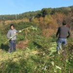 Nova jornada d'extracció de canya al riu Ripoll