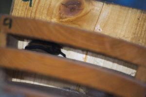 Les caixes-refugi de ratpenats instal·lades per l'ADENC ja tenen inqui·lins!