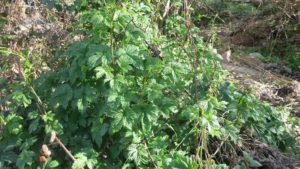Sortida botànica al riu Ripoll