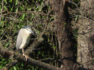 Sortida d'ornitologia al riu Ter