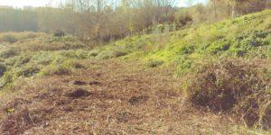 Nova jornada d'eliminació de vegetació invasora al riu Ripoll