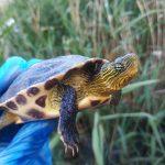 Primers resultats del seguiment de les poblacions de tortugues del riu Ripoll