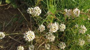 Sortida botànica Turó de Montigalà