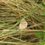 Nova espècie de papallona a l'itinerari de Can Vilar