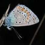 Blaveta-comuna-Polyommatus-icarus.jpg