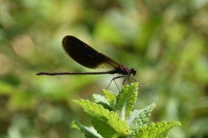 Les libèl.lules com a indicadores de l'estat ecològic del riu Ripoll